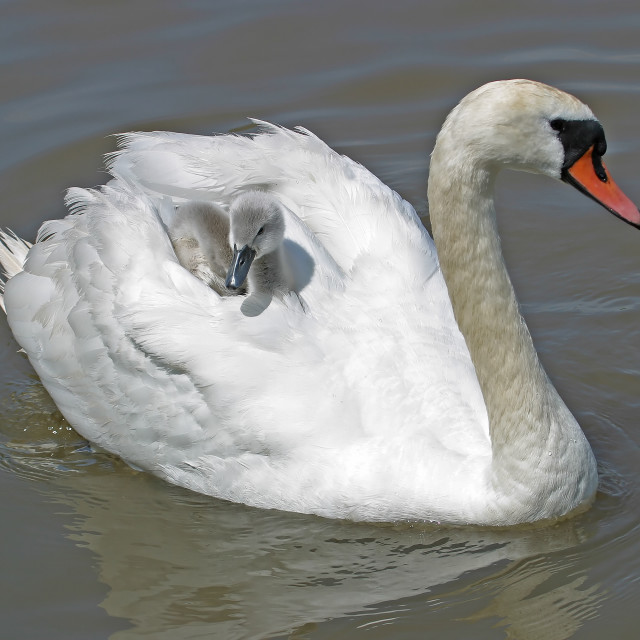 """Mute Swan with Cygnet on her Back"" stock image"