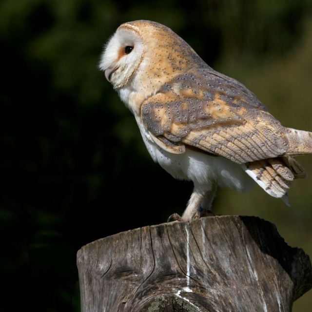 """European Barn Owl on Post"" stock image"