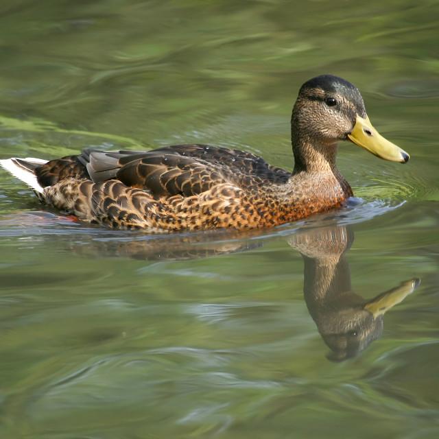 """Female Mallard on Lake"" stock image"