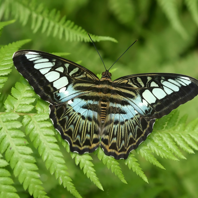 """""""Clipper Tropical Butterfly"""" stock image"""