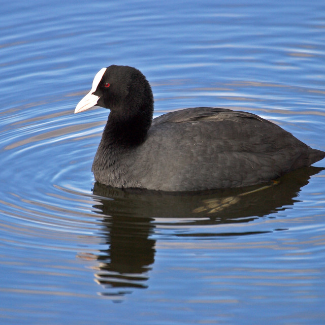 """""""Coot on Rippled Water"""" stock image"""