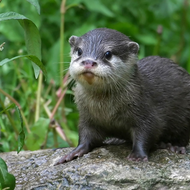 """Baby Short Clawed Otter"" stock image"