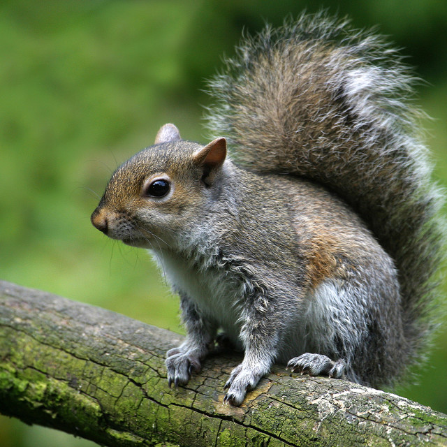 """Grey Squirrel on a Branch"" stock image"