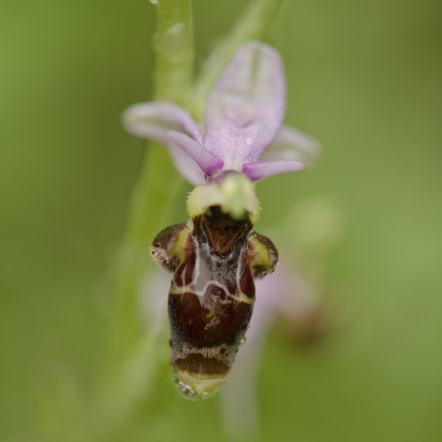"""""""Woodcock orchid, Ophrys scolopax"""" stock image"""