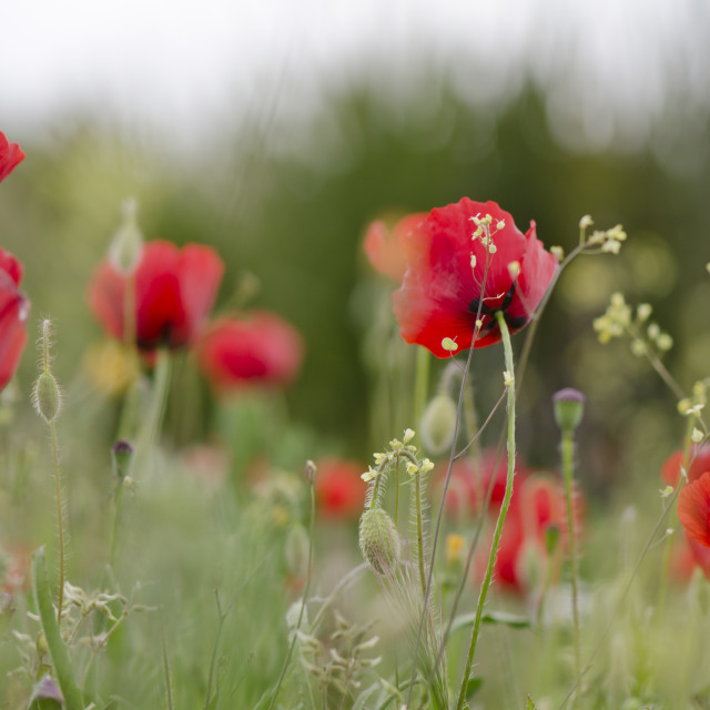 """""""Poppies in spring"""" stock image"""