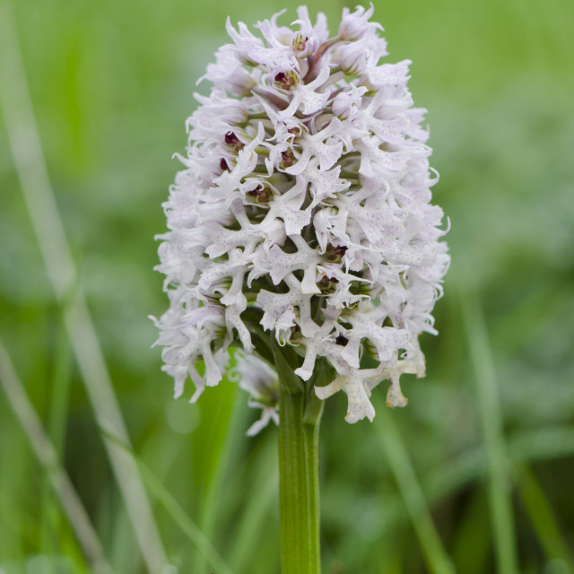 """""""Conical orchid, Orchis conica"""" stock image"""