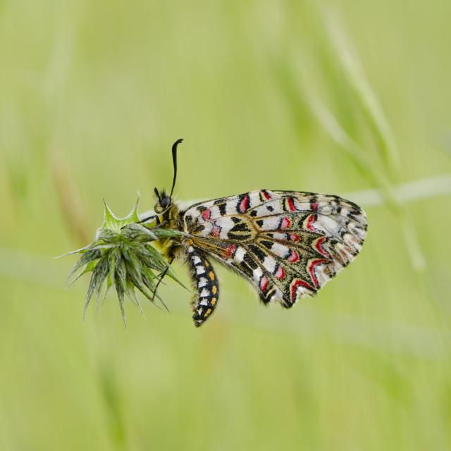 """Spanish Festoon, butterfly, Zerynthia rumina"" stock image"