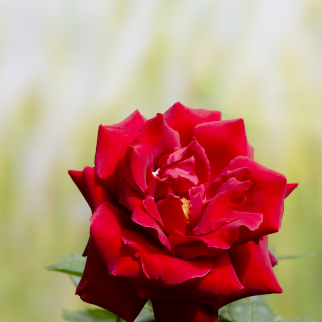 """Bright red rose"" stock image"