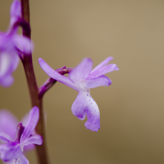 """""""Early-purple orchid, Orchis mascula, Orchis langei,"""" stock image"""