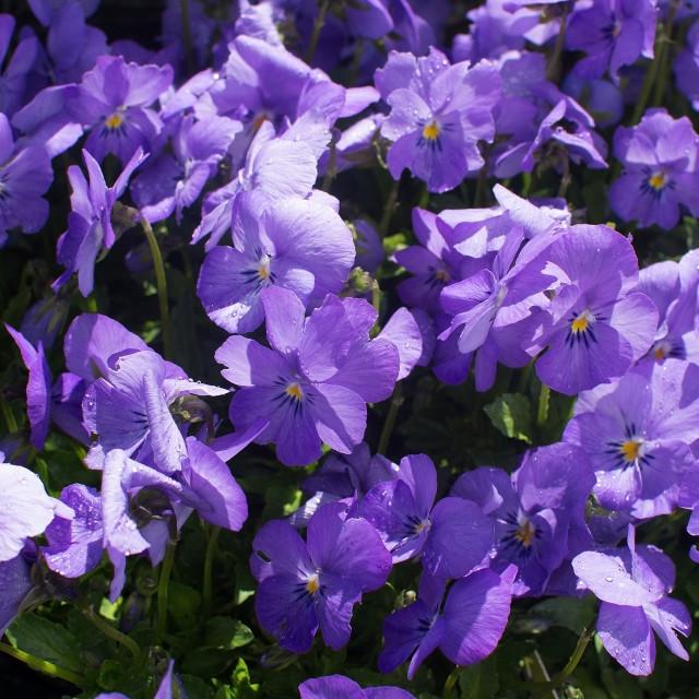 """Sweet purple violet flowers"" stock image"