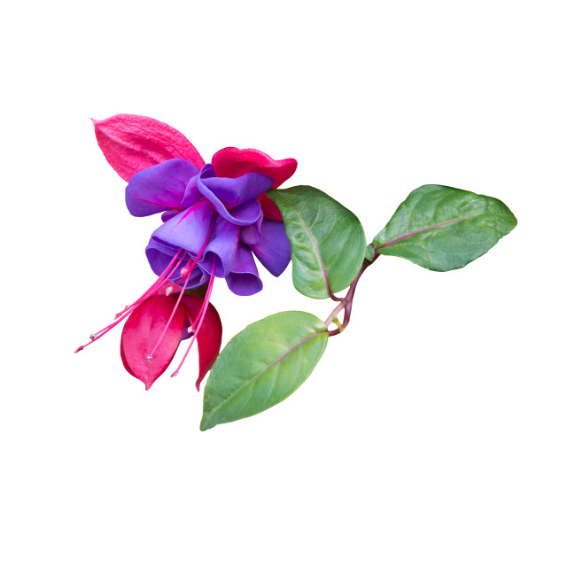 """Pink and purple fuchsia isolated on white,"" stock image"