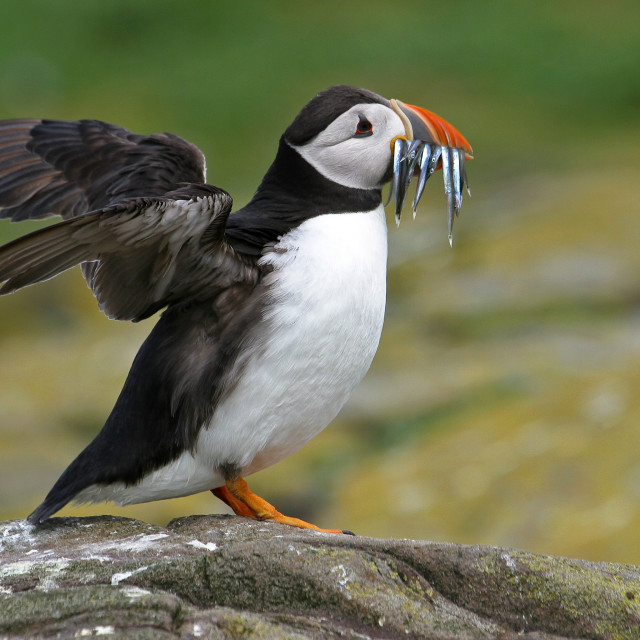 """Flapping Puffin with Sand Eels"" stock image"