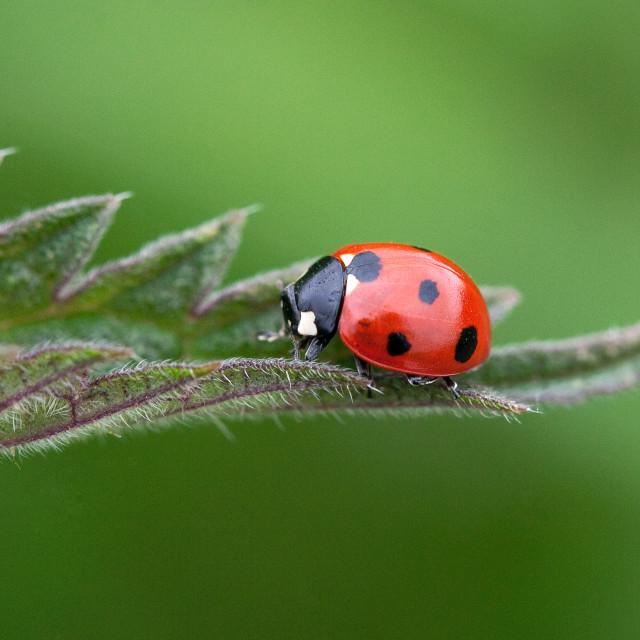 """7 Spot Ladybird on Nettle Leaf"" stock image"