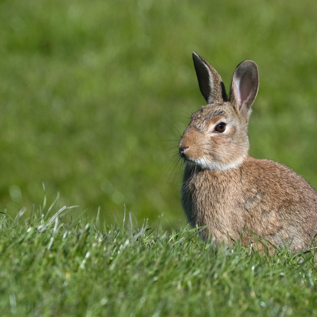 """""""Rabbit Sitting in the Grass"""" stock image"""