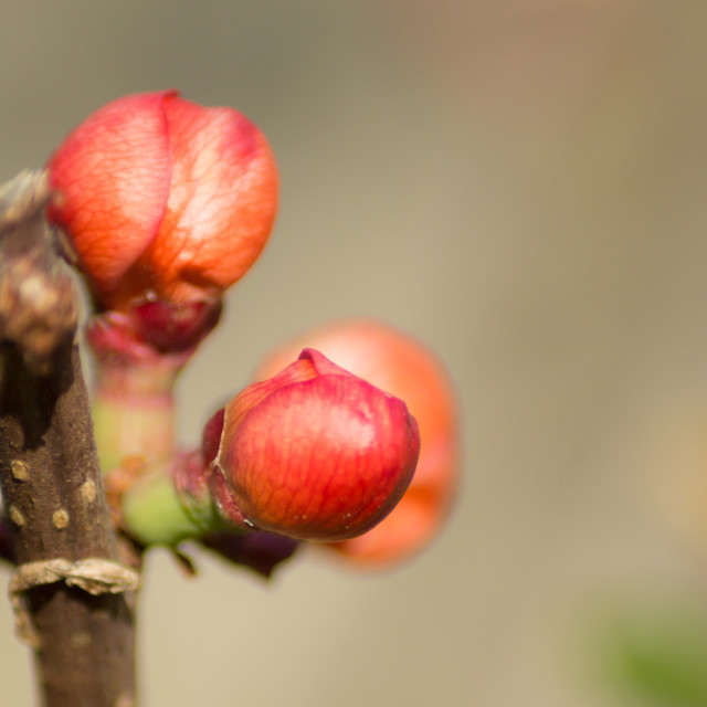 """Early buds"" stock image"