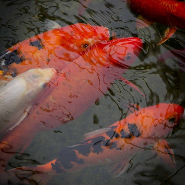"""Koi carps in pond"" stock image"