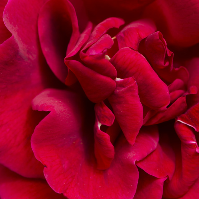"""""""Bright red rose."""" stock image"""