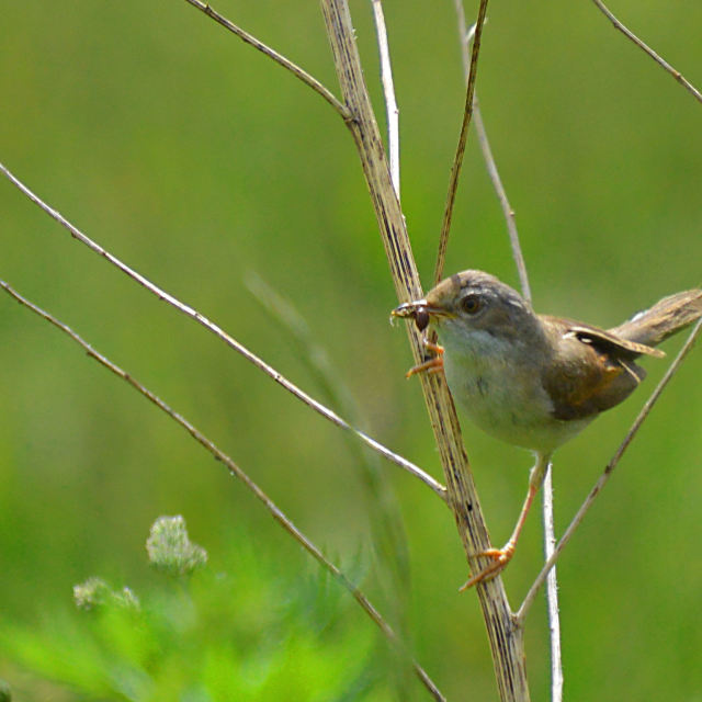 """Common warbler"" stock image"