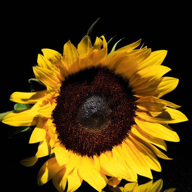 """Large Sunflower"" stock image"