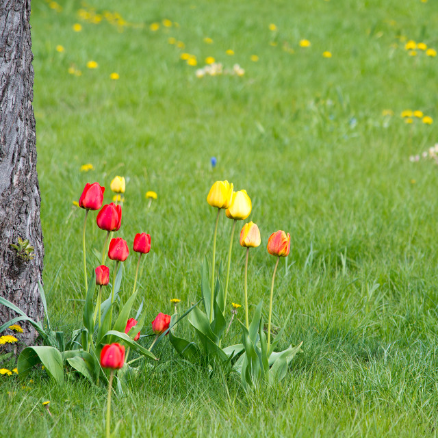 """Red and yellow tulips"" stock image"