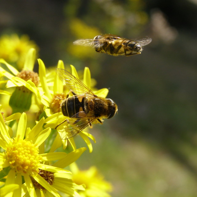 """""""Busy hover flies"""" stock image"""