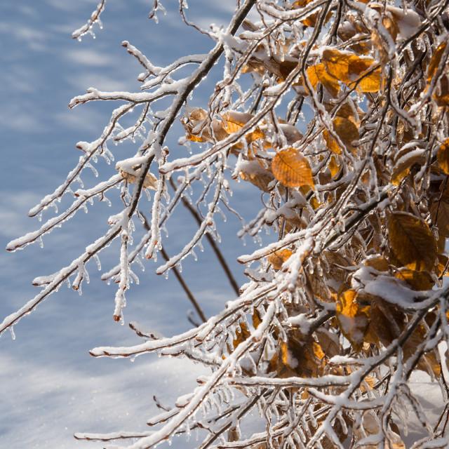 """""""Ice Storm Tree"""" stock image"""