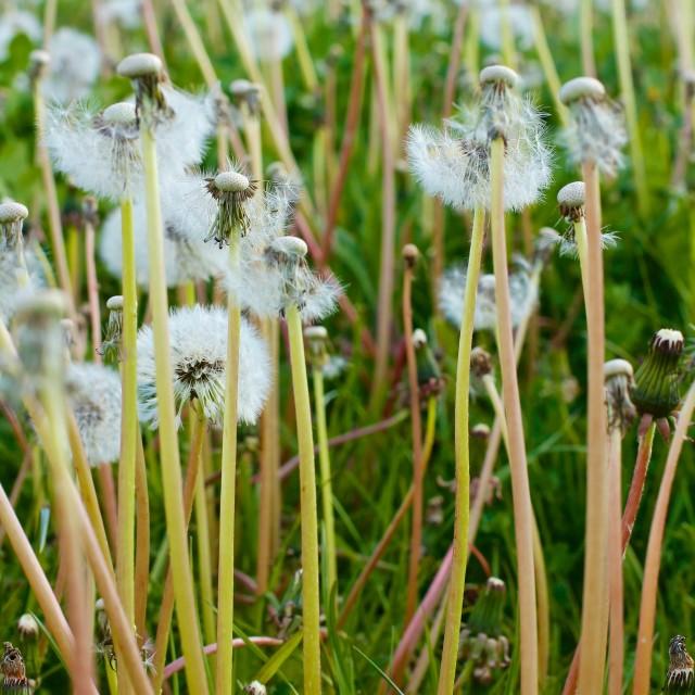 """""""Dandelions Summer Meadow"""" stock image"""