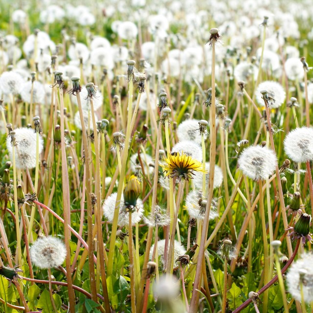 """Dandelions Summer Meadow"" stock image"