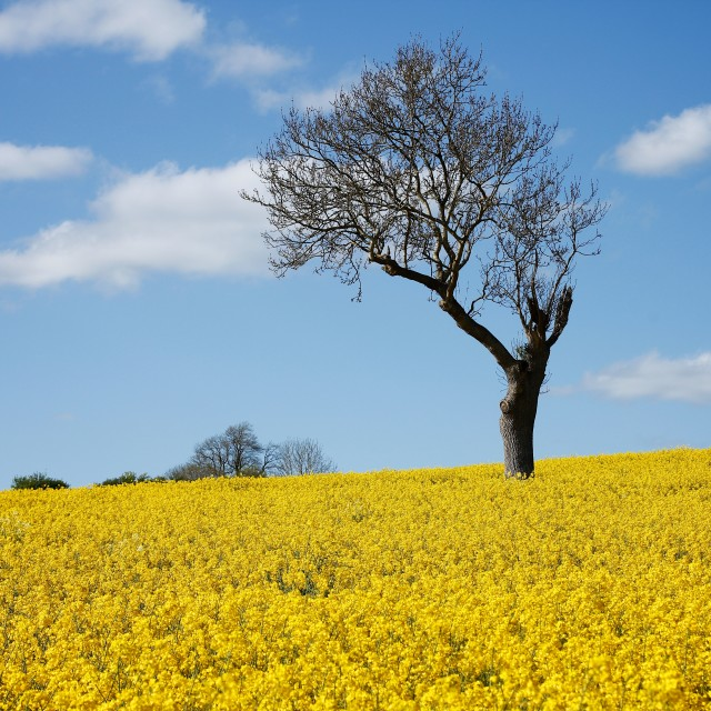"""Unique Tree Alone in Yellow Rapeseed Field"" stock image"