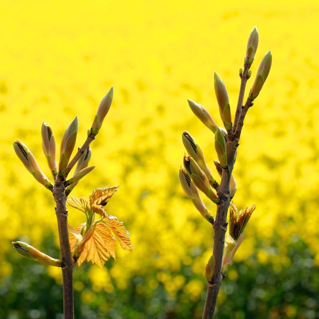 """Tree Flower Buds Yellow Rapeseed"" stock image"
