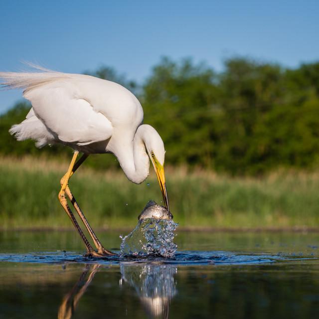 """White heron capturing fish"" stock image"