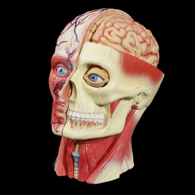 """Anatomical head model"" stock image"