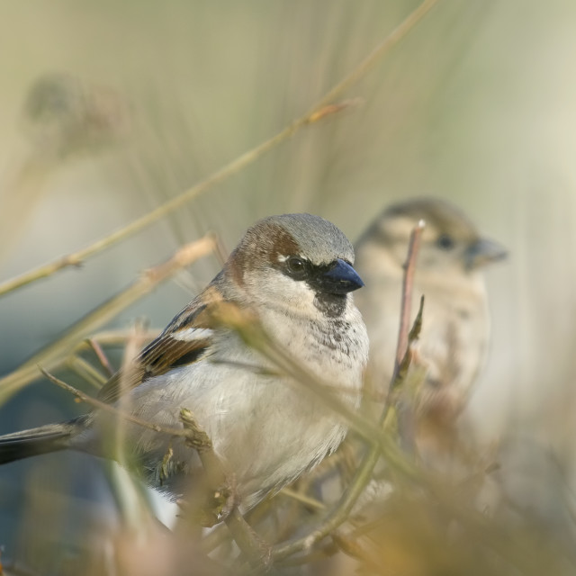 """Pair of Sparrows"" stock image"