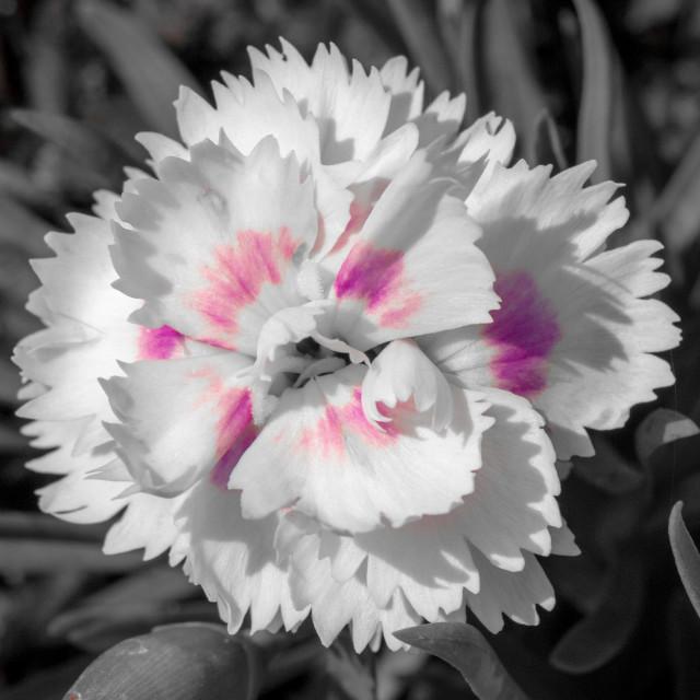 """Dianthus"" stock image"