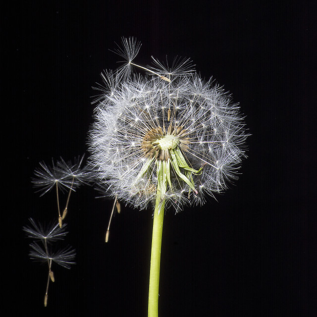 """blown dandelion"" stock image"