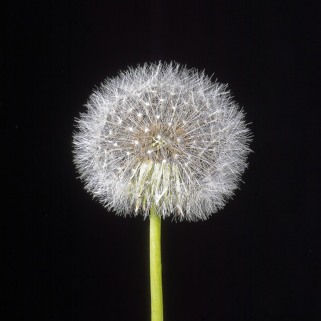 """Dandelion Tree"" stock image"
