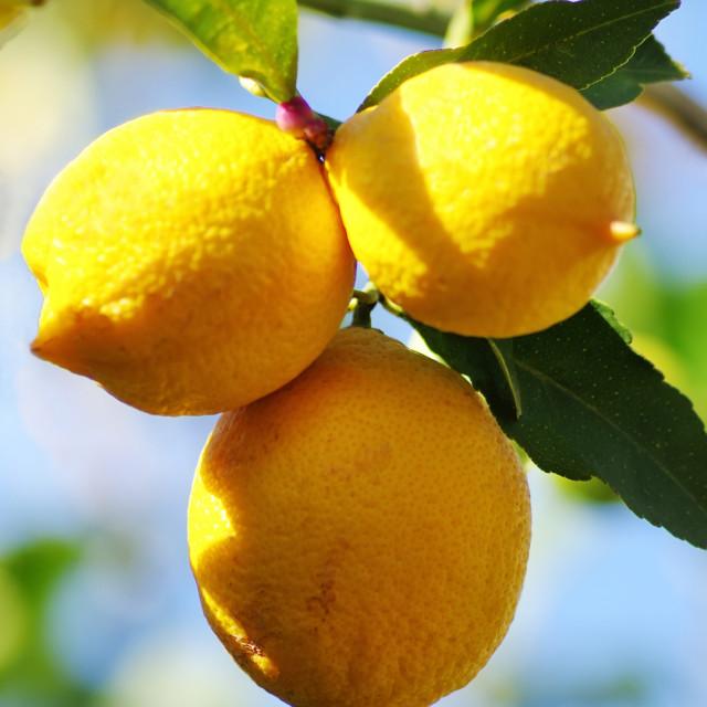 """""""lemons on lemon tree in nature"""" stock image"""