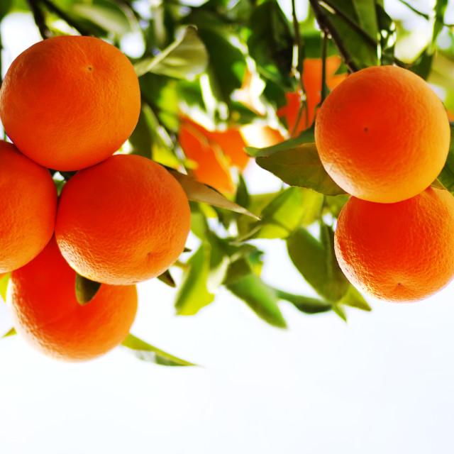 """branch of orange tree fruits"" stock image"
