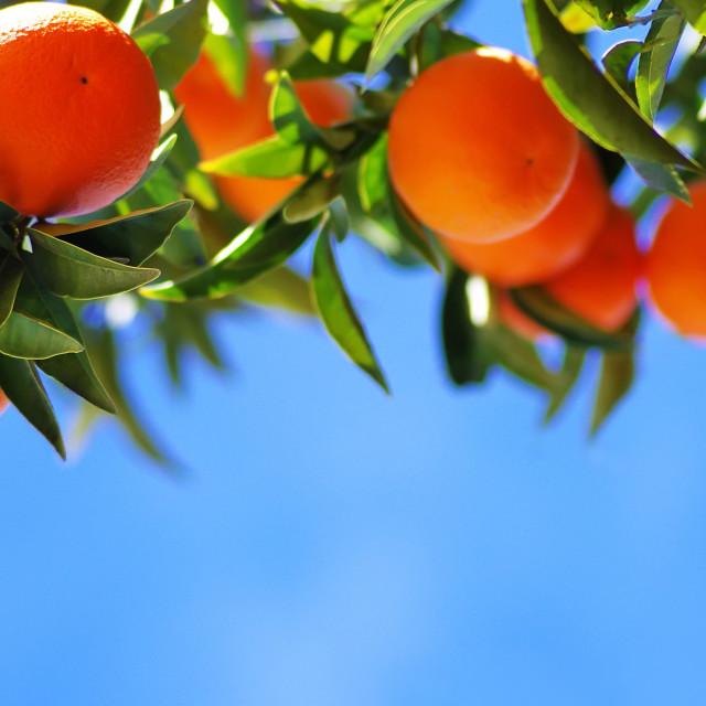 """Ripe oranges on blue sky"" stock image"
