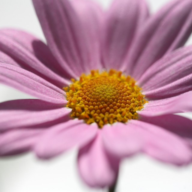 """PINK DAISY"" stock image"