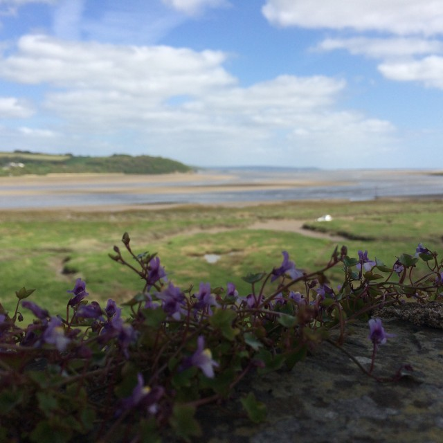 """Forget-me-not Laugharne"" stock image"