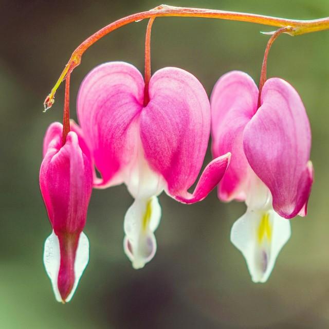 """""""Bleeding heart flower"""" stock image"""