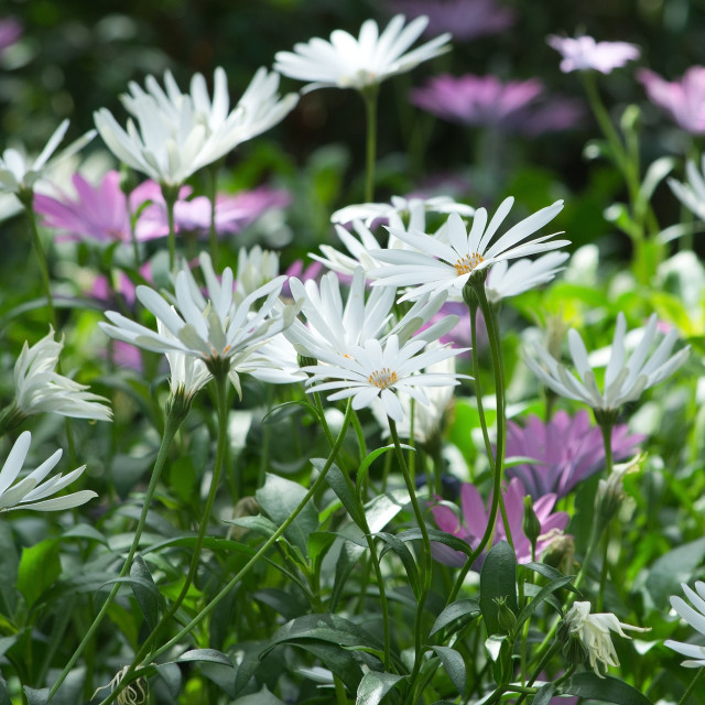 """""""White and purple African daisy"""" stock image"""