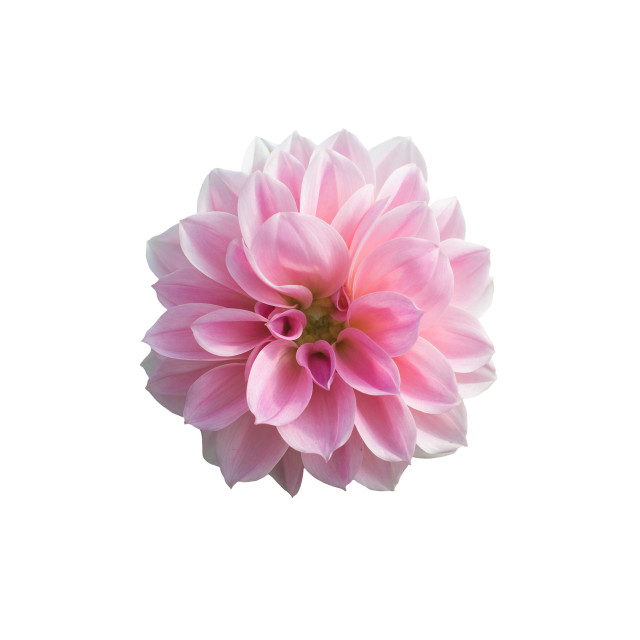 """Sweet pink Dahlia flower"" stock image"
