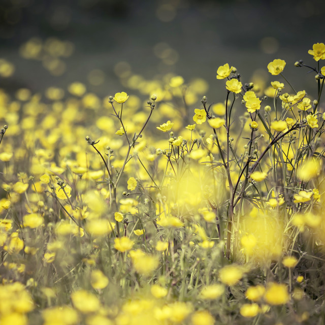 """Buttercup Meadow"" stock image"