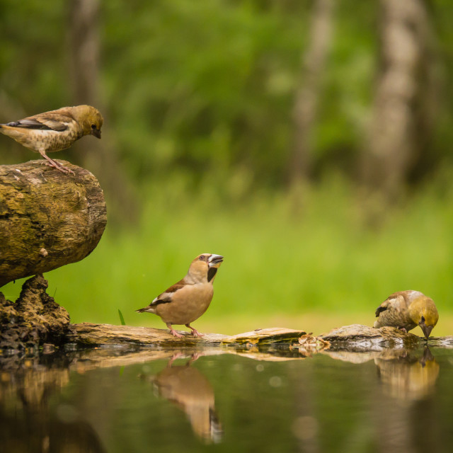 """Forest birds drinking"" stock image"