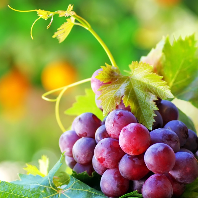 """bottle of wine with grapes"" stock image"