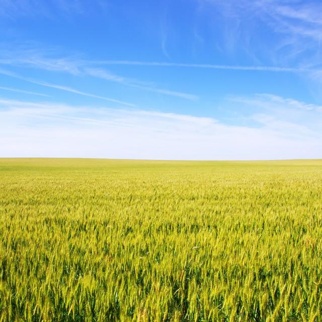 """wheat field under a blue sky"" stock image"