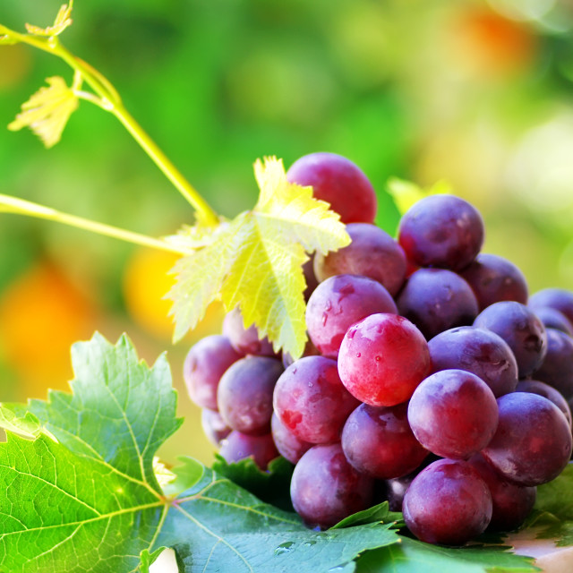 """""""ripe grapes with green leaves"""" stock image"""