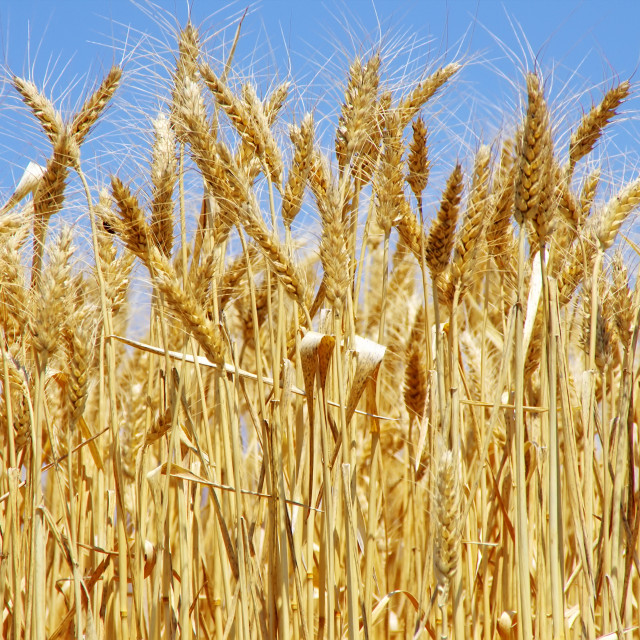 """""""Ripe spikes of wheat"""" stock image"""